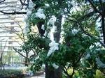 2009年11月白い山茶花.jpg