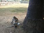 アンコールワットの野生猿 2009年12月29日アンコールワット 022.jpg