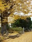黄葉の大銀杏.jpg