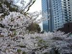 2009年4月5日桜 005.jpg