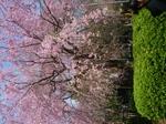 2009年4月8日桜 上野公園・新宿御苑 011.jpg