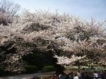 2009年4月8日桜 上野公園・新宿御苑 015.jpg