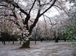 2009年4月8日桜 上野公園・新宿御苑 065.jpg