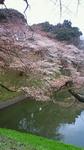 2010桜 千鳥が渕.jpg