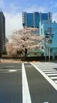 2010桜 芝浦中央公園ドコモビル.jpg