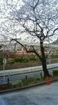 2010桜 湯島天神.jpg