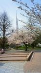 桜満開の芝公園.jpg