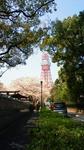 桜と東京タワー.jpg