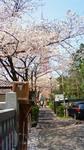 桜に霞む東京タワー.jpg