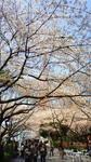 桜、桜、東京タワー.jpg