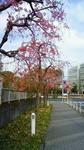 紅枝垂れ桜並木201104080734001.jpg