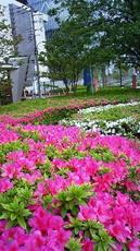 躑躅 芝浦中央公園付近 201105011347000.jpg