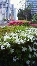躑躅 芝浦中央公園付近 201105011348000.jpg