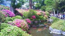 根津神社 躑躅 201105021050000.jpg