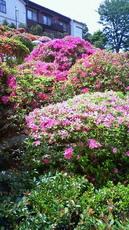 根津神社 躑躅 201105021050001.jpg