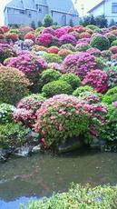 根津神社 躑躅 201105021051000.jpg