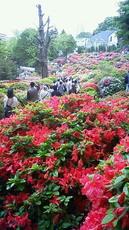 根津神社 躑躅 201105021057000.jpg