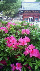 根津神社 躑躅 201105021102000.jpg