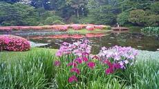 皇居東御苑 躑躅 花菖蒲 杜若 201106071635000.jpg