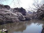 桜 千鳥が渕2011年1月-4月歌舞伎ー桜 069.jpg