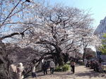 桜 千鳥が渕2011年1月-4月歌舞伎ー桜 088.jpg